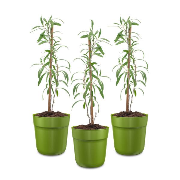 Bio Gojipflanze (Turgidus)